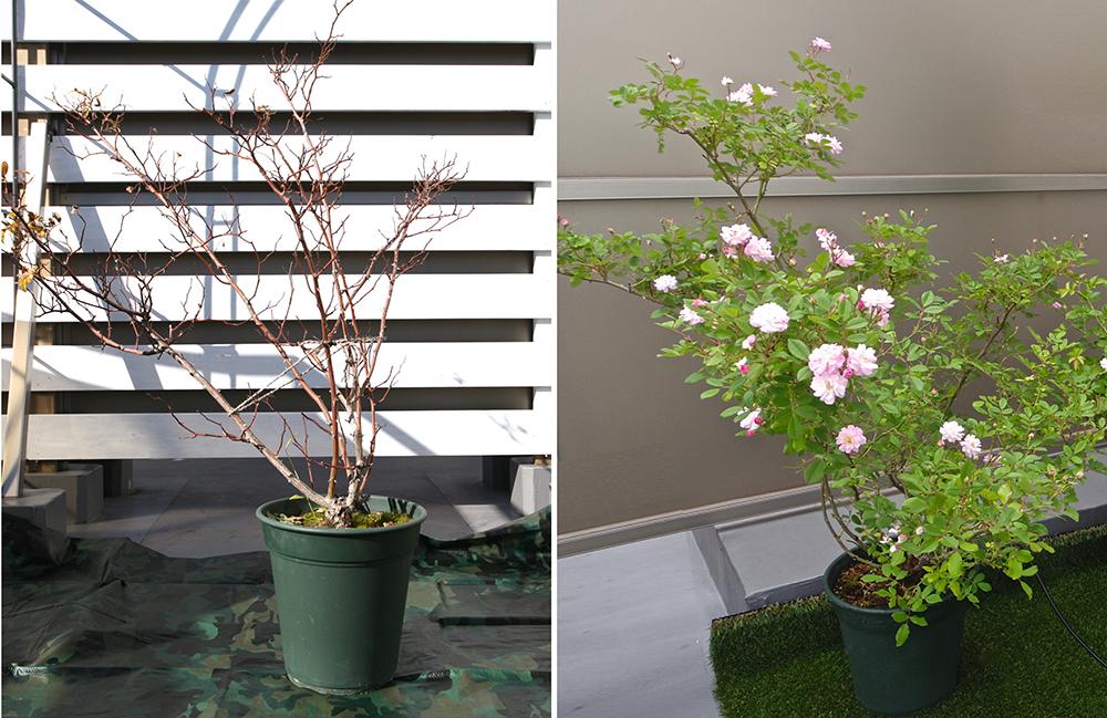 つるバラの春と冬の比較