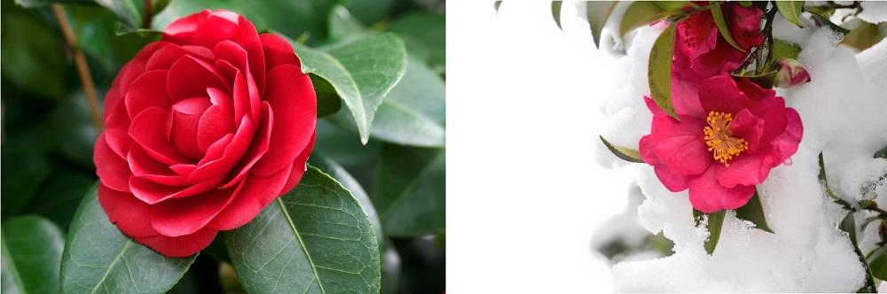 椿と山茶花を花で見分ける