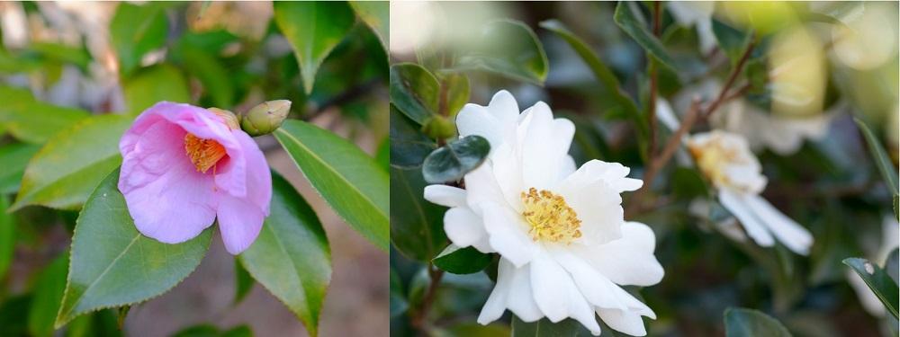 椿と山茶花の違い