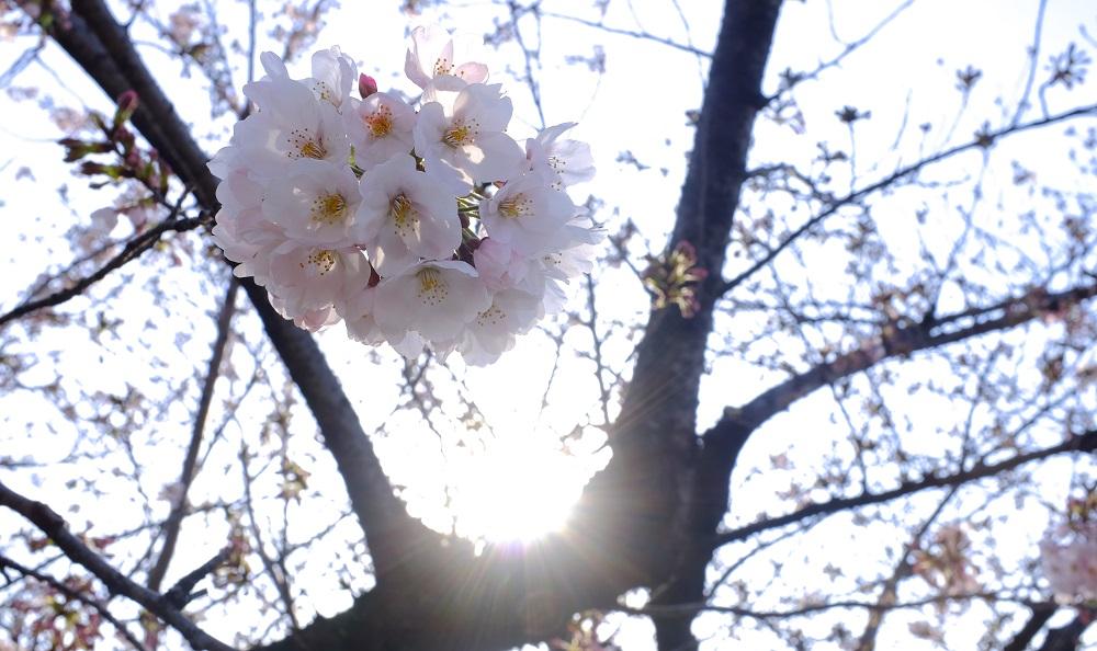 房状に咲く日本のサクラ