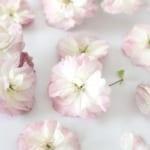 シリカゲルでつくる桜のドライフラワー