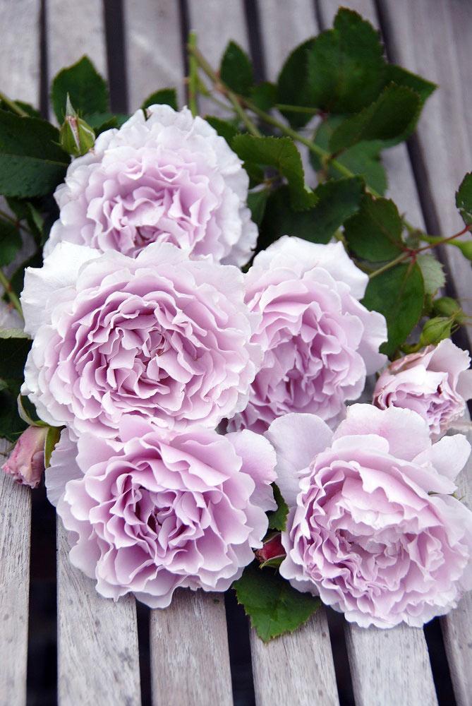 カーネーション咲きの藤色のバラ 'リベルラ'