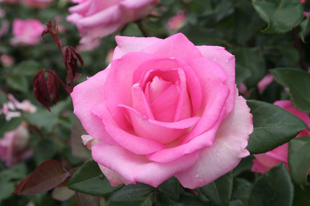 最強のピンク系大輪品種 'ビバリー'