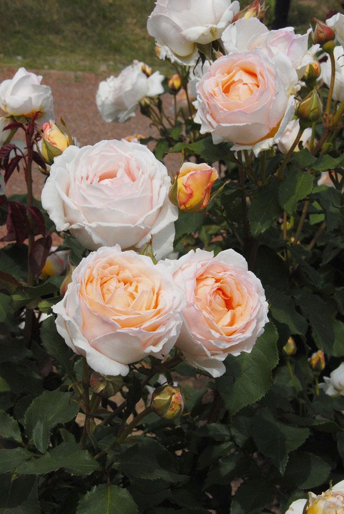 秀逸な香りを持つ美しいバラ '薫乃'