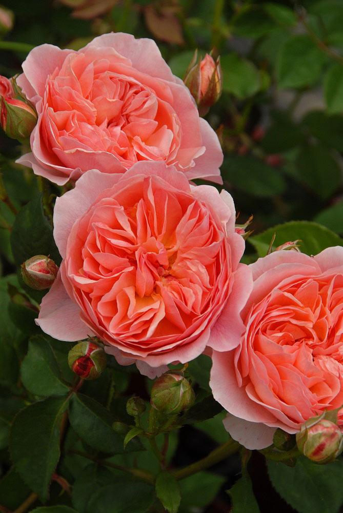 まさに'香り飾る,華やかな香りバラ 'かおりかざり'