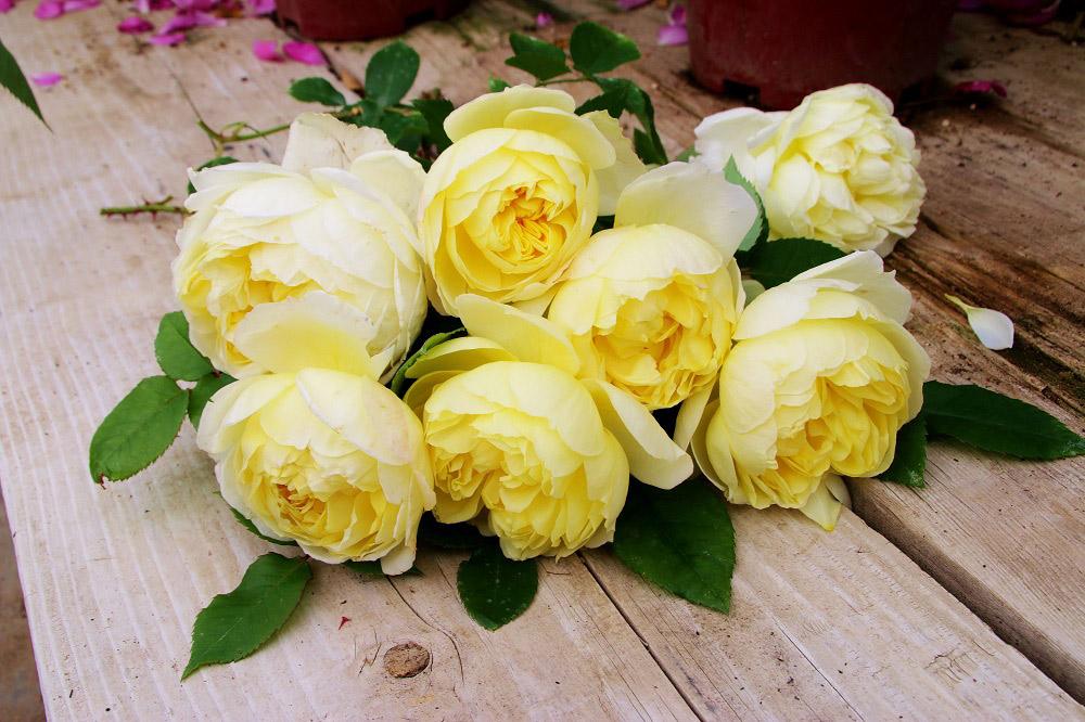 黄色のバラで香りがよい 'れもん'
