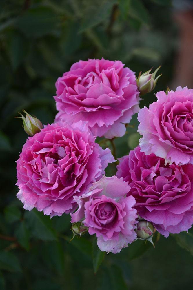 ひらひらとした花弁が特徴の 'シェエラザード'
