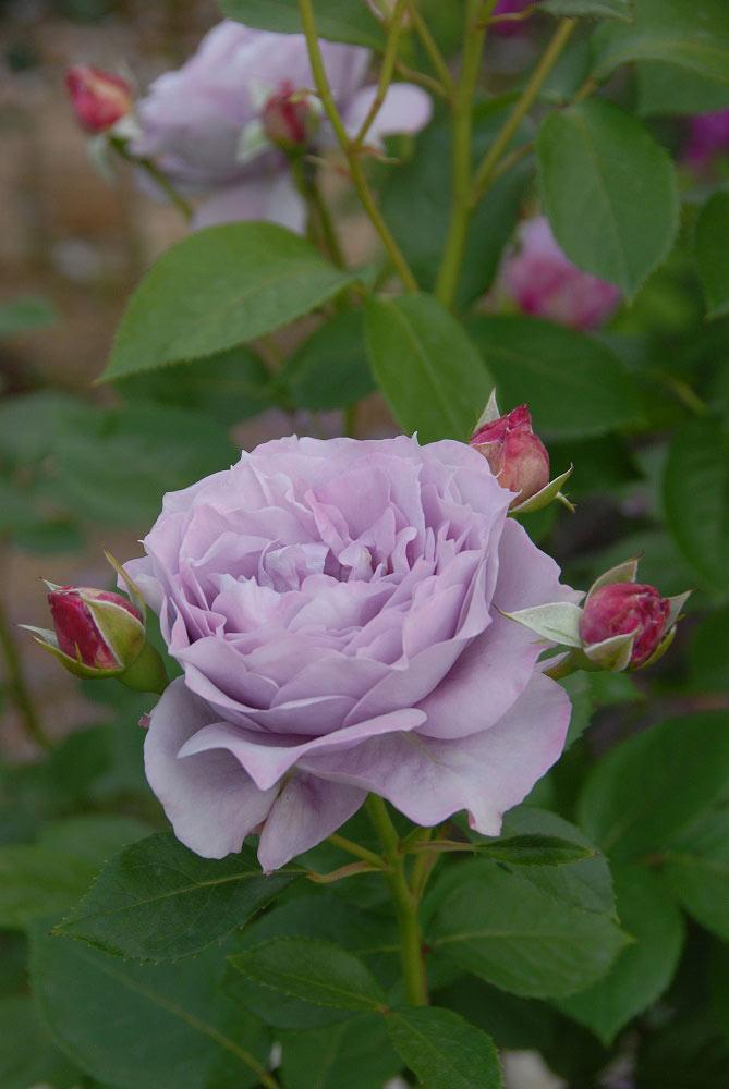 草花にも合わせやすい藤色のバラ 'ノヴァーリス'