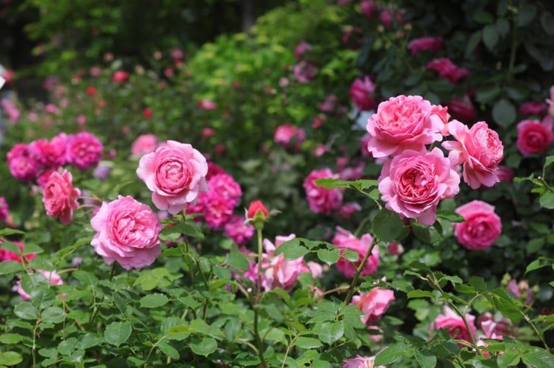 バラの栽培