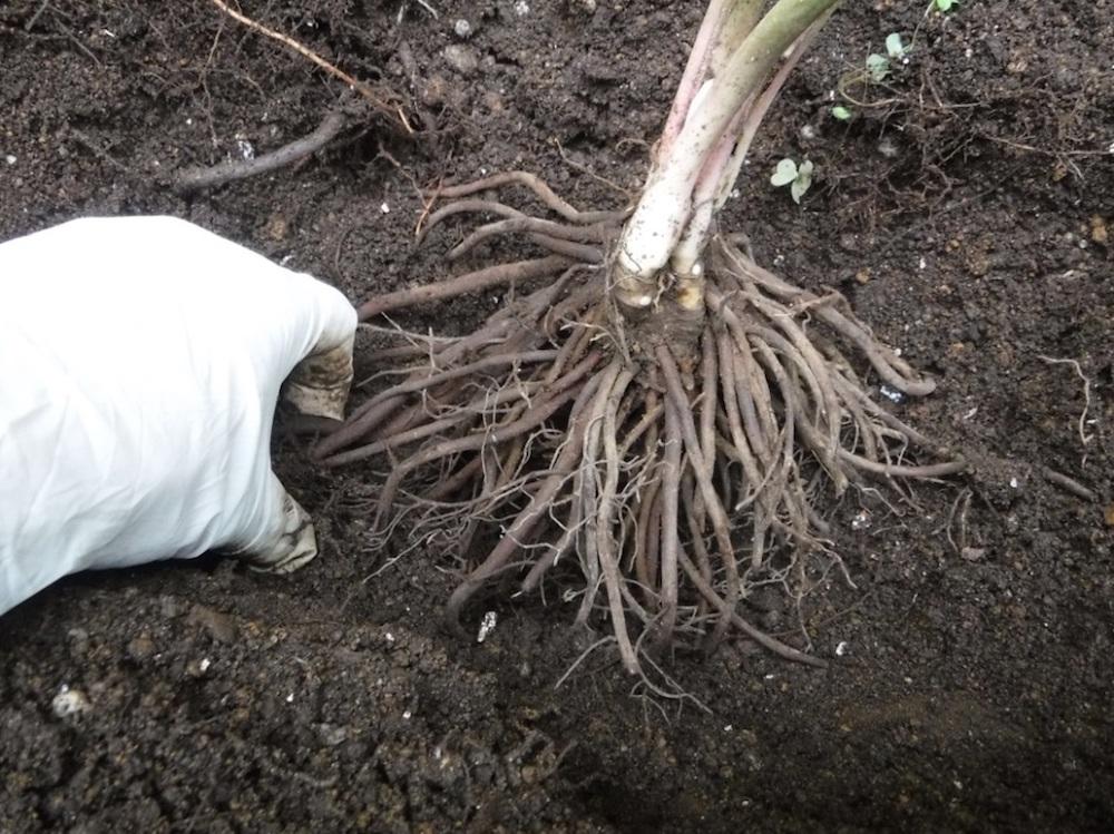 クリスマスローズの植え付けの仕方〜庭植えの場合