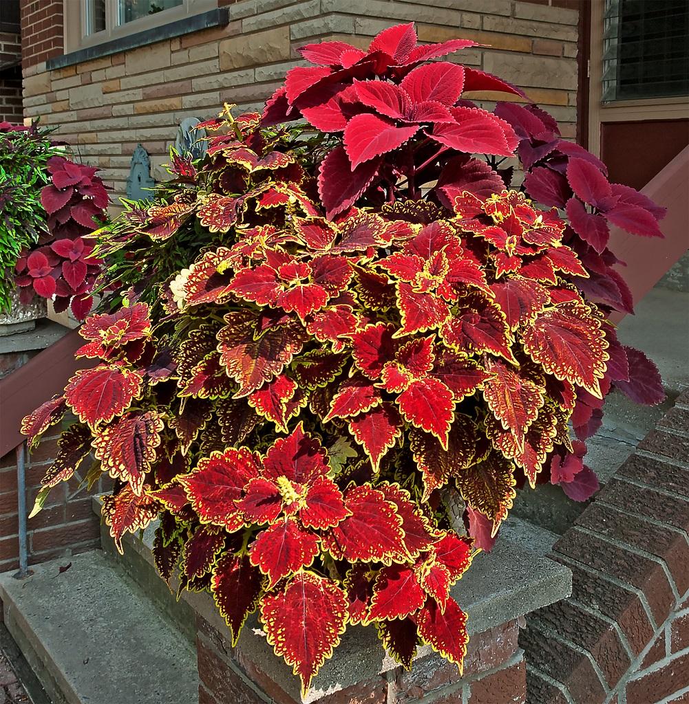 赤いコリウスの大鉢