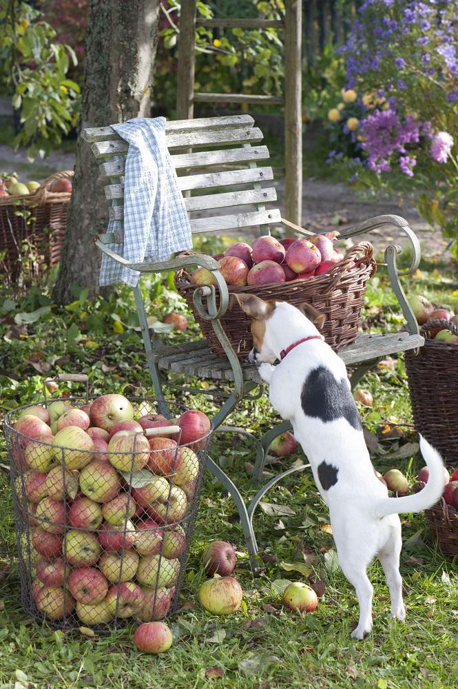 犬とリンゴの籠