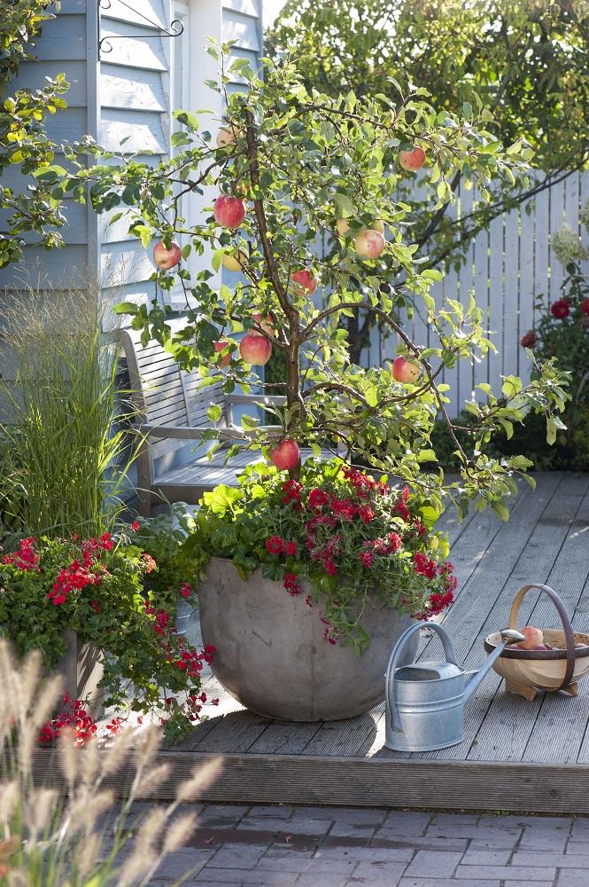 リンゴの鉢植え