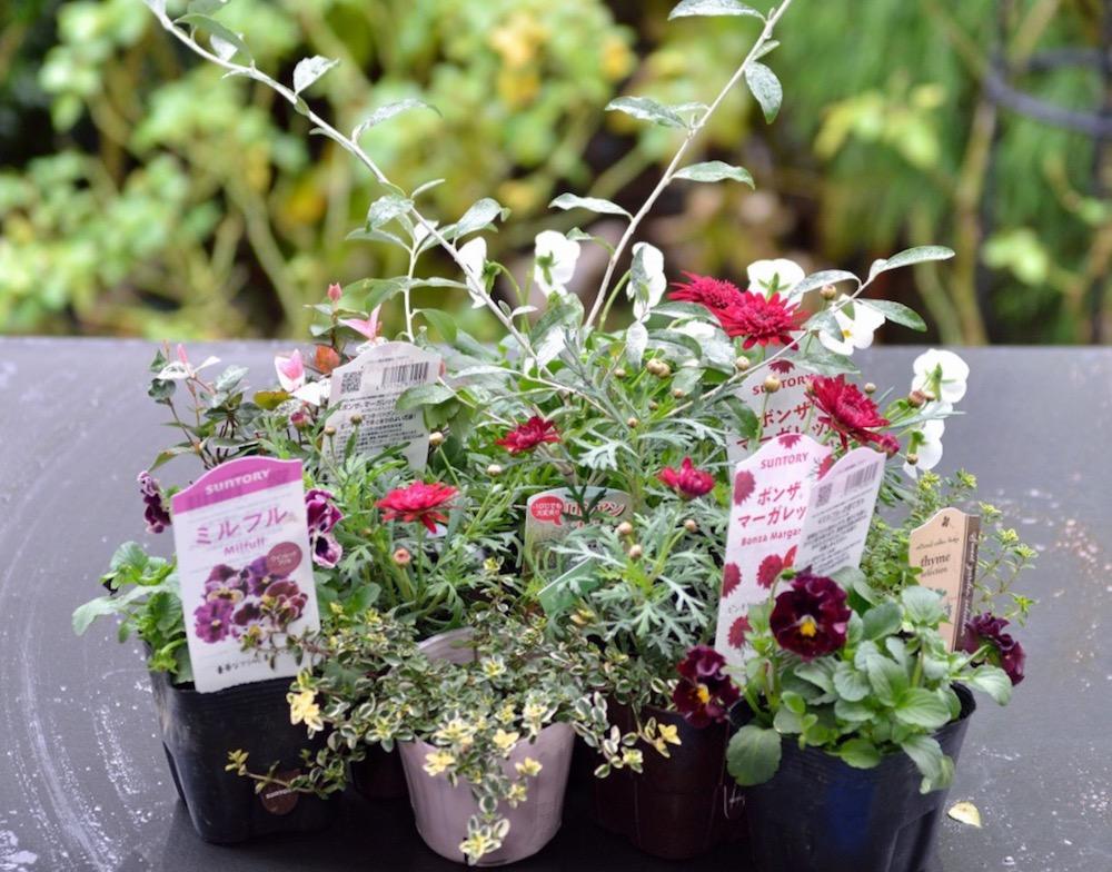 受験生応援の花〜マーガレットの寄せ植えの作り方
