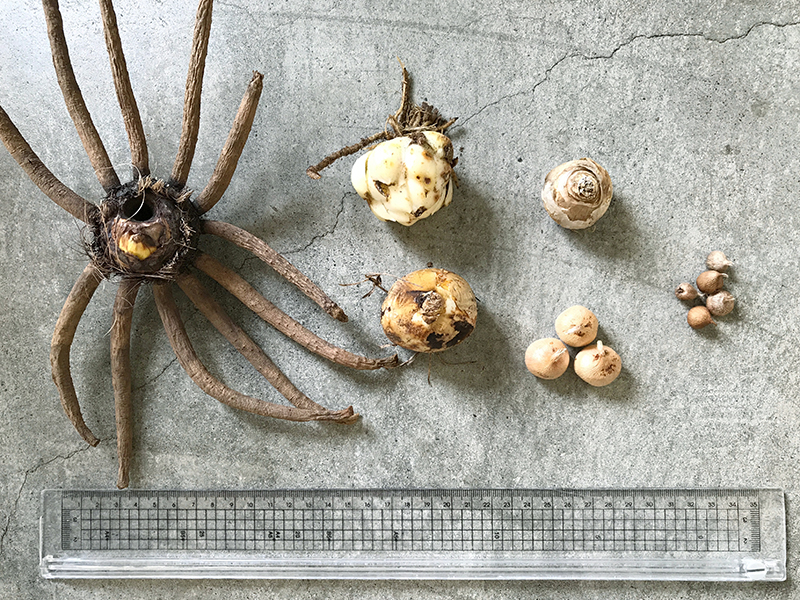 秋植え球根の大きさ比較