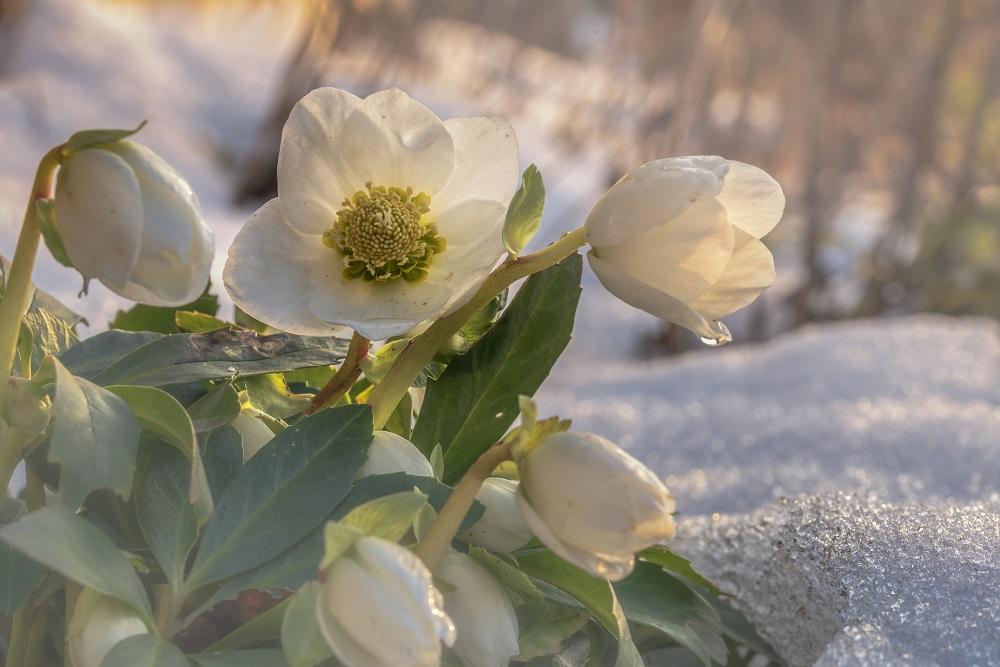 純白の花を咲かせるヘレボルス・ニゲル