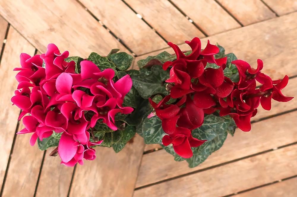 ハボタンとシクラメンの冬の寄せ植え〜ガーデンシクラメン