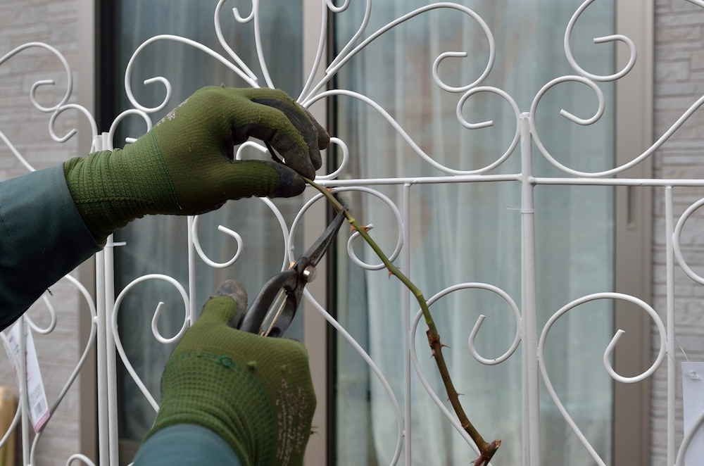 初心者さん必見!バラの花壇の作り方-つるの先端を切る-