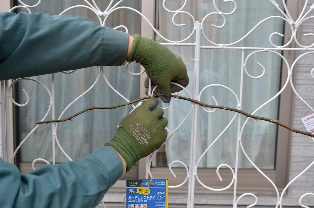 初心者さん必見!バラの花壇の作り方-ソフトタイでトレリスに誘引-