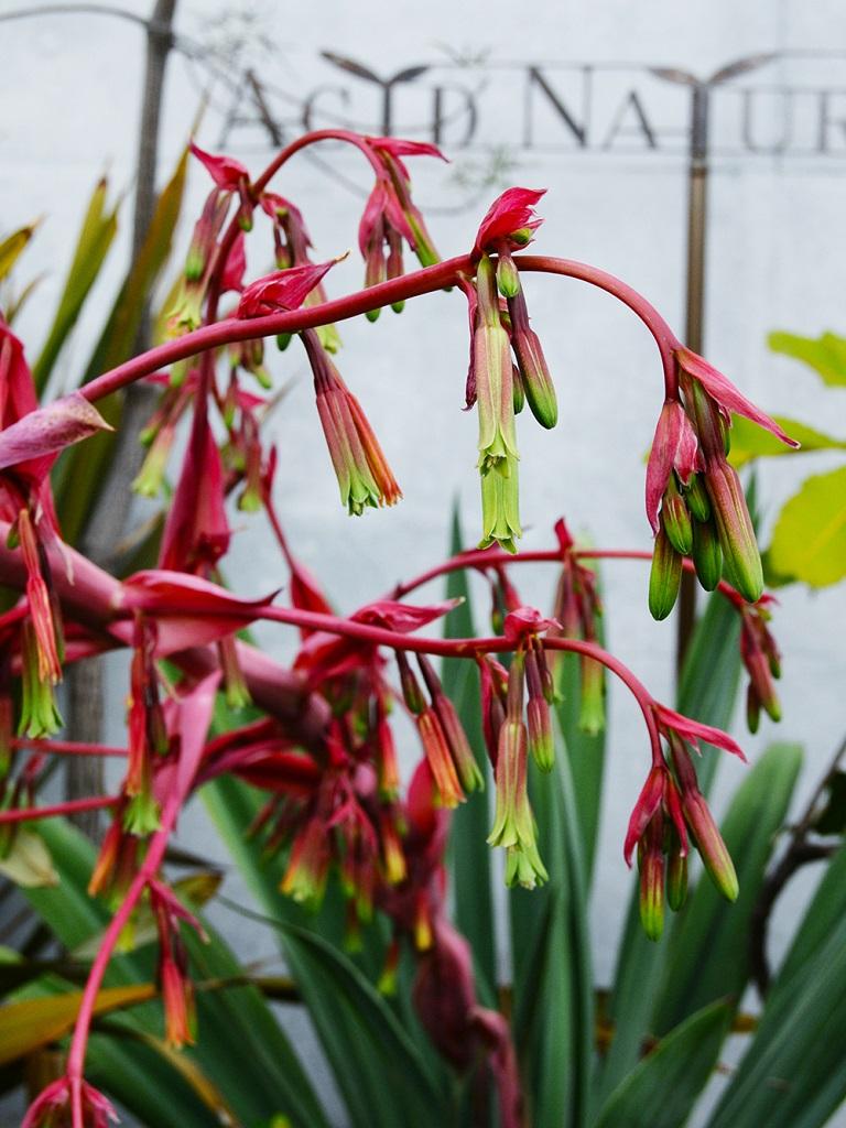 ベスコルネリアの花