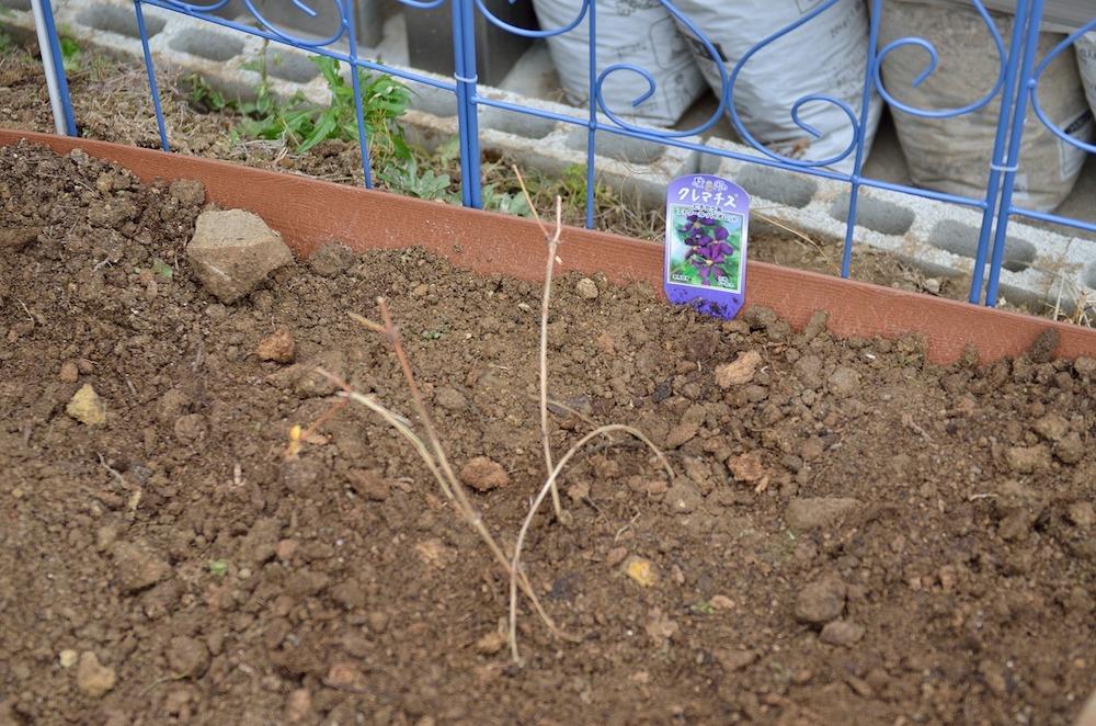 初心者さん必見!バラの花壇の作り方-クレマチスを深植えする-