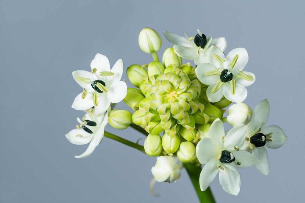 オーニソガラム・アラビクムの花
