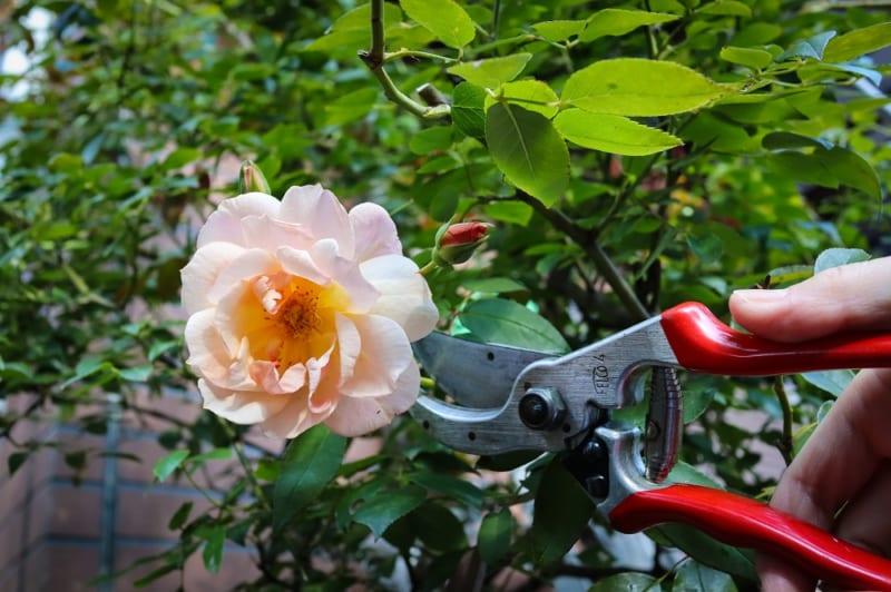 バラの花と剪定バサミ