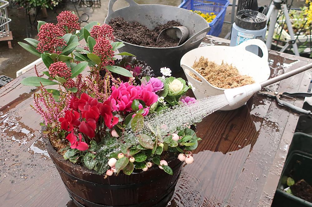ハボタンとシクラメンの冬の寄せ植え〜仕上げに水やり