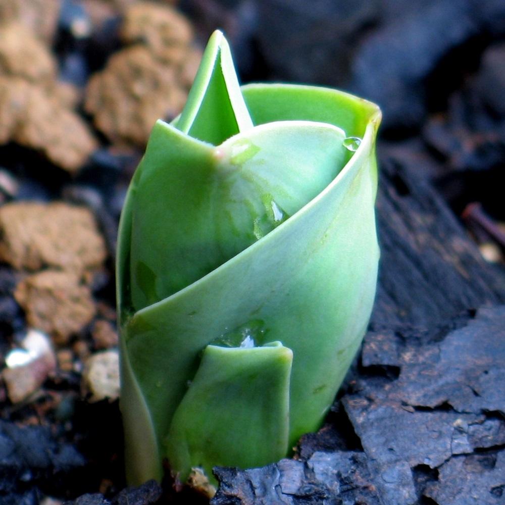 チューリップの芽生え