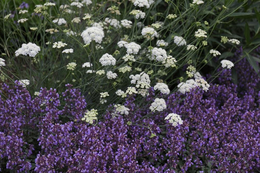 風に揺れる白花と低く茂る紫の花穂