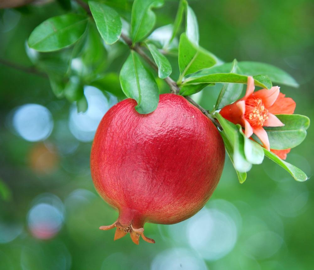 ザクロの実と花