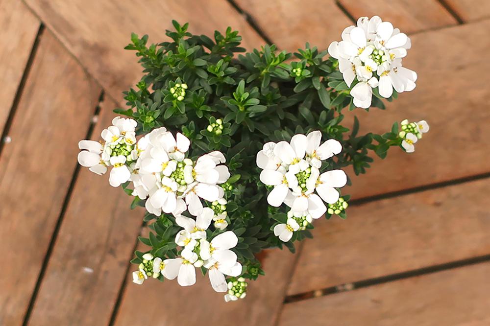 ハボタンとシクラメンの冬の寄せ植え〜白系のイベリス