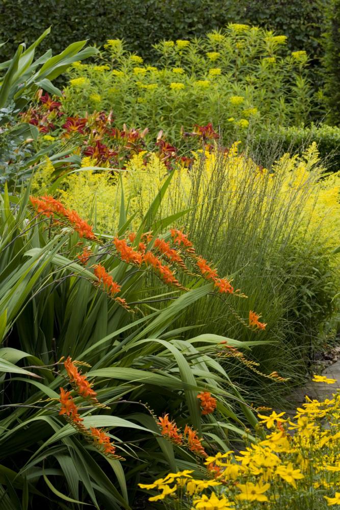 橙色のクロコスミア・マソニオルムと、黄色い花穂のソリダスター。©National Trust Images/Jonathan Buckley