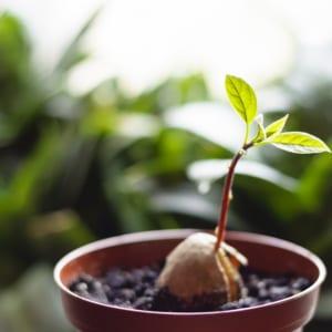 アボカドの幼木