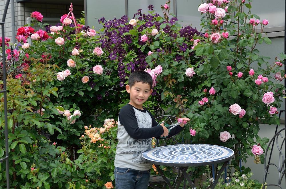 初心者さん必見!バラの花壇の作り方-バラの花を切るご長男-