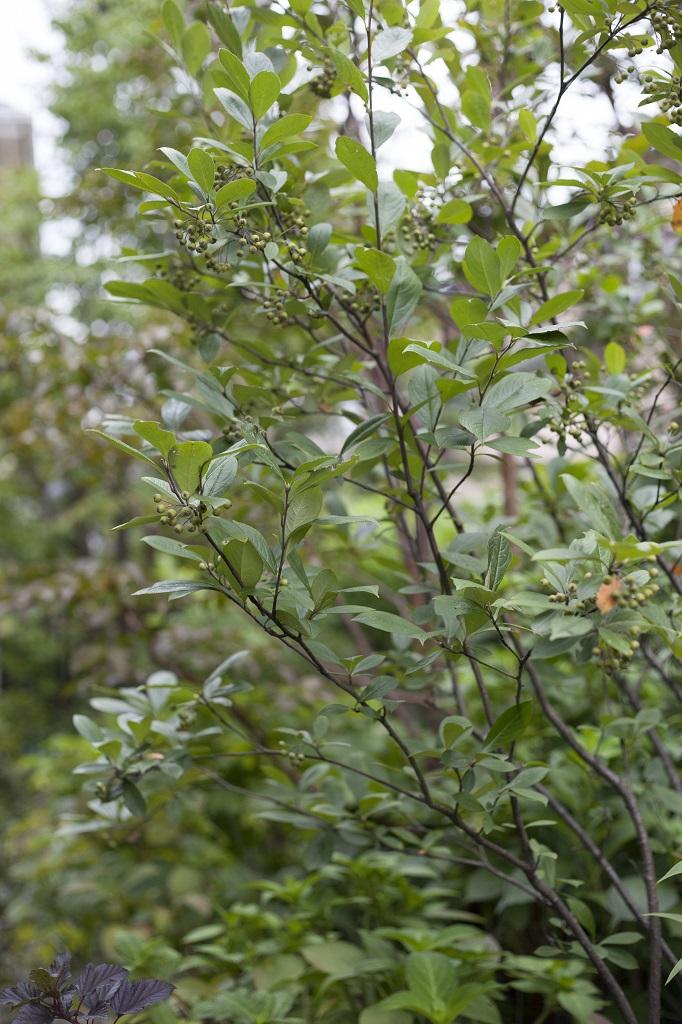 アロニアの木