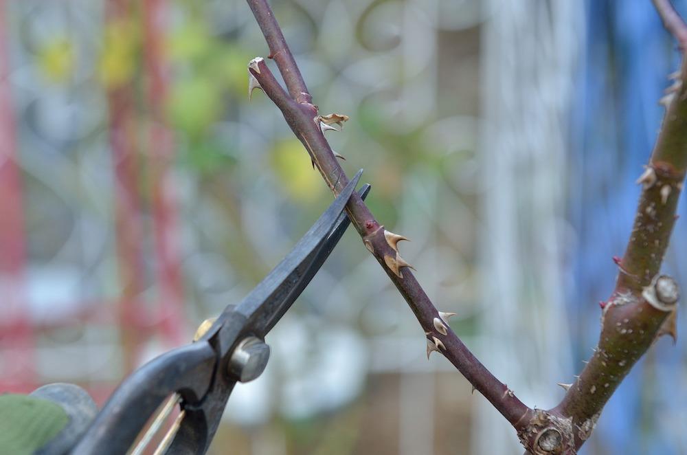 初心者さん必見!バラの花壇の作り方-わき芽は2芽残して切る-