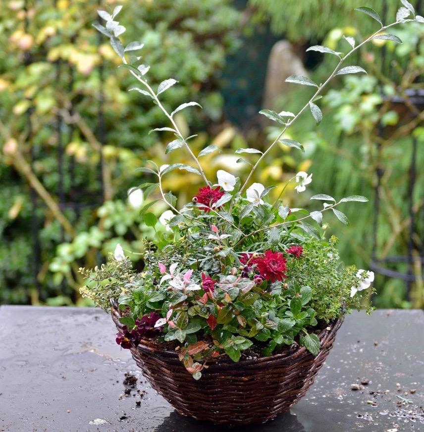 マーガレットの寄せ植えの作り方〜水やりをして完成