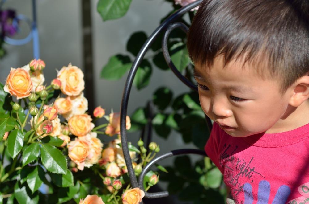 初心者さん必見!バラの花壇の作り方-花を眺める弟さん-