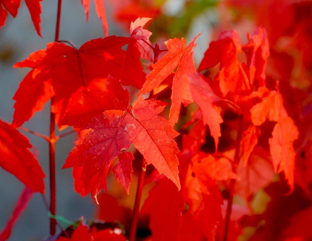 紅葉が美しい樹木、アメリカハナノキ(ベニカエデ)