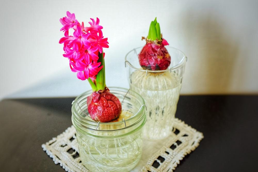 ヒヤシンスの花