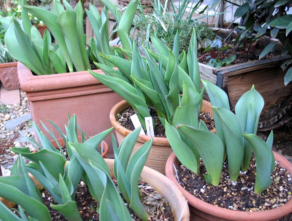 鉢植えのチューリップ