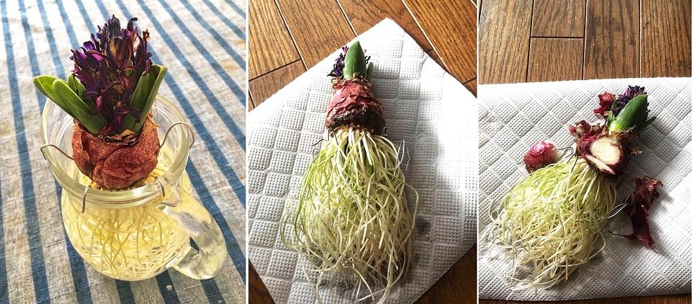 茎が短いヒヤシンス