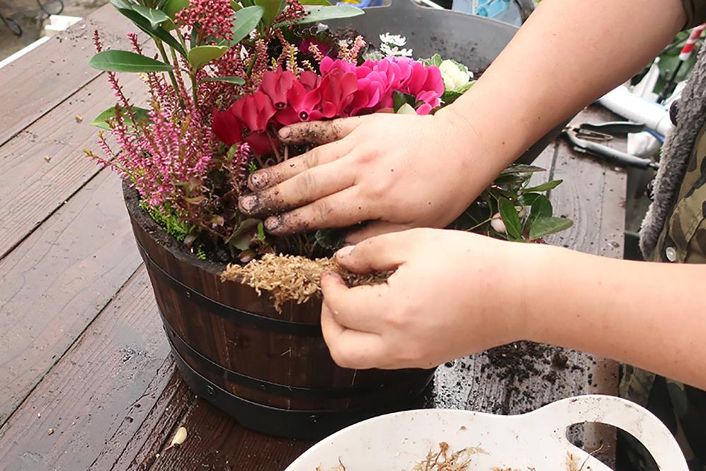ハボタンとシクラメンの冬の寄せ植え〜水苔入れ