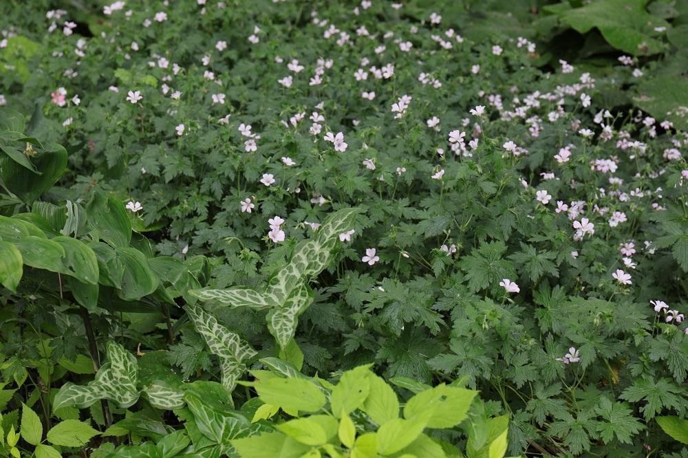 白花のゲラニウムと様々な葉
