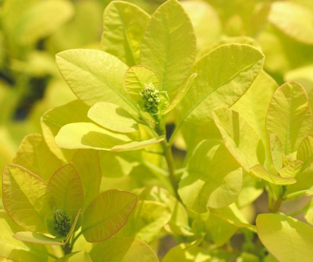 )スモークツリー'ゴールデン スピリット'の葉