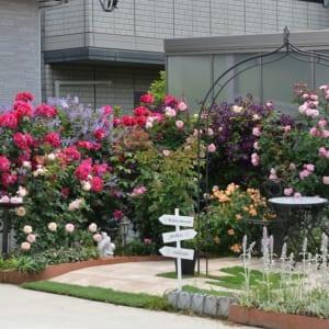 初心者さん必見!バラの花壇の作り方-花壇After。春のバラの開花シーン-