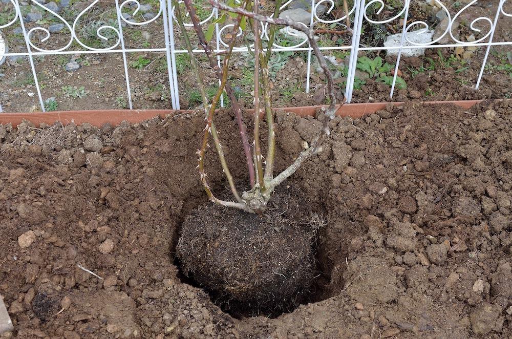 初心者さん必見!バラの花壇の作り方-つるバラを植える-