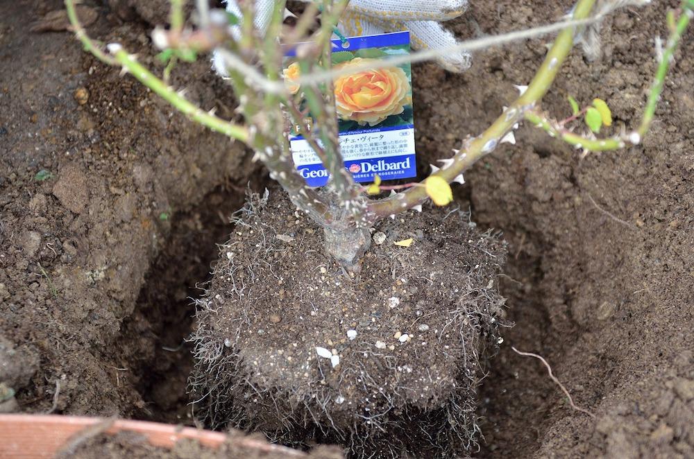 初心者さん必見!バラの花壇の作り方-木立バラを植え付ける-