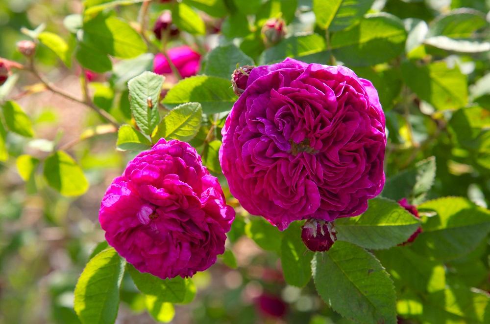 ヴィベール作出のバラのひとつ'カティナ'(Catinat) ロゼッタ咲きのガリカ